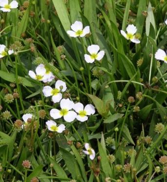 Baldellia Ranunculoides-7 cm pots