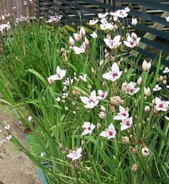 Butomus Umbellatus Schneeweibchen-RARE PLANT-Barerooted