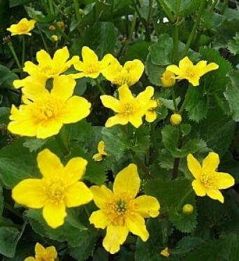 Caltha Palustris Auengold-RARE PLANT-9 cm pots
