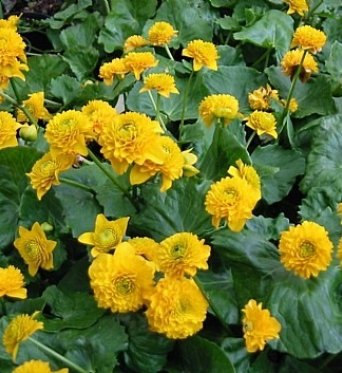 Caltha Palustris Plena-9 cm pot