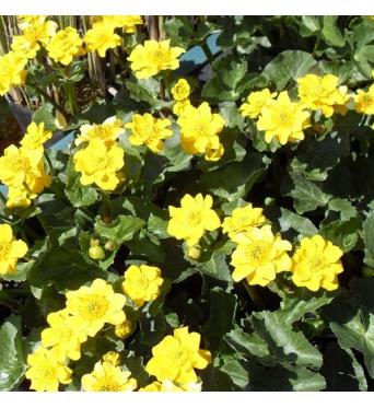 Caltha Palustris Newlake Hybrids-RARE PLANT-9 cm pots