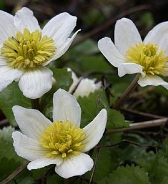 Caltha Palustris Alba-9 cm pots