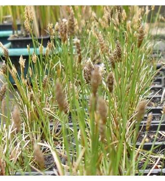 Carex Dioica-7 cm pot