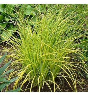 Carex Elata Aurea-9 cm pots