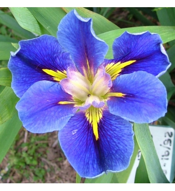 Iris Louisiana Deep Sea Quest-barerooted