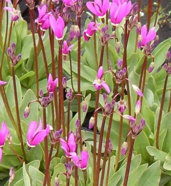 Dodecatheon Pulchellum-7 cm pots
