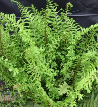 Dryopteris Affinis Cristata The King-9 cm pot