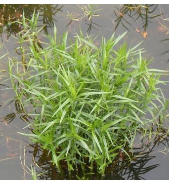 Dulichium Arundinaceum-RARE PLANT-barerooted