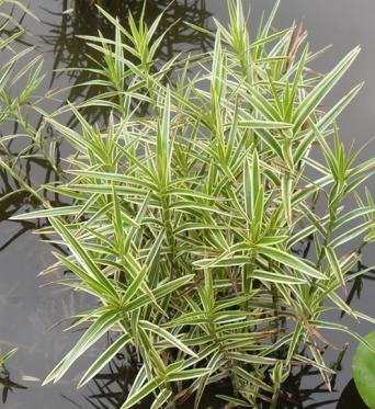 Dulichium Arundinaceum Tigress-RARE PLANT-barerooted