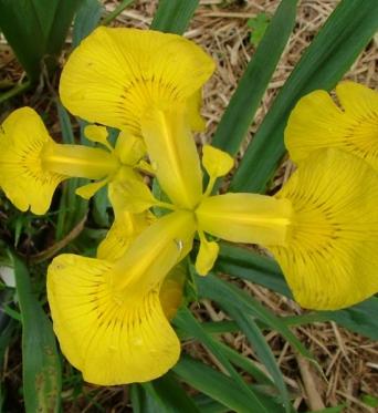 Iris Pseudacorus Mini Mart-barerooted