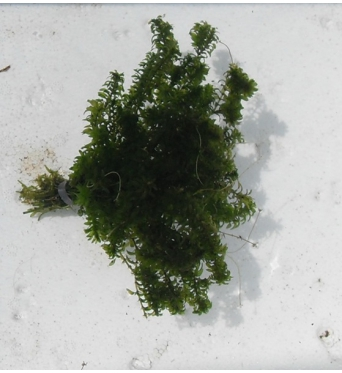 Elodea Canadensis (true rare species)-bunched