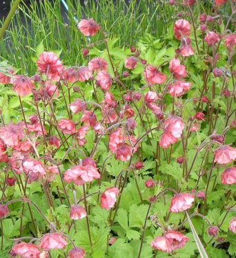 Geum Bell Bank-barerooted