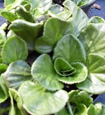 Gunnera Cordifolia-9 cm pot