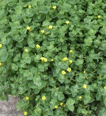 Hypericum Elodes-7 cm pot