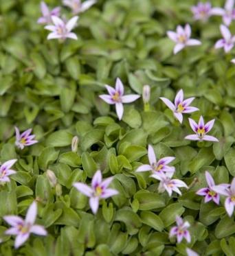 Hypsela Reniformis-plug plants