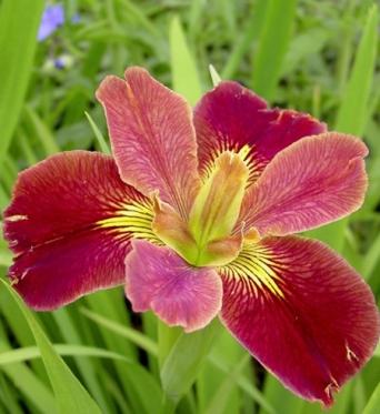 Iris Louisiana Bold Pretender-barerooted
