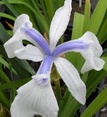 Iris Laevigata Rowden Starlight-barerooted