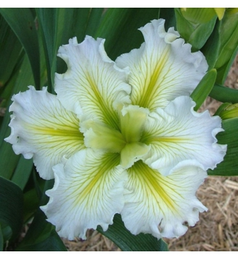 Iris Louisiana Edna Grace-barerooted