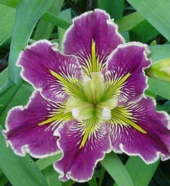 Iris Louisiana Extra Dazzle-barerooted