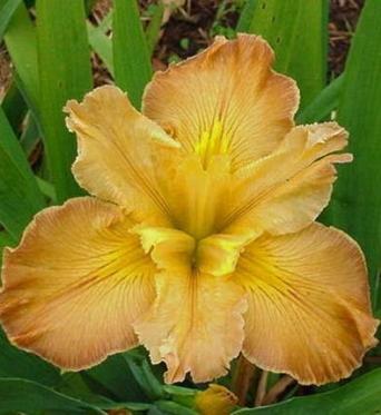 Iris Louisiana Few Are Chosen-barerooted