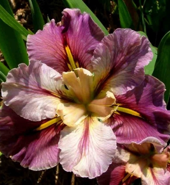 Iris Louisiana From This Moment-barerooted