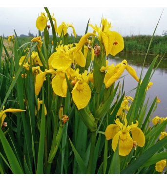 Iris Pseudacorus-LARGE PLANTS-barerooted