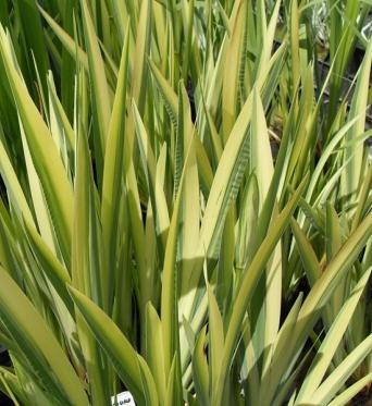 Iris Pseudacorus Variegata-LARGE PLANTS x 10 barerooted