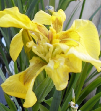 Iris Pseudacorus Flore Pleno-barerooted