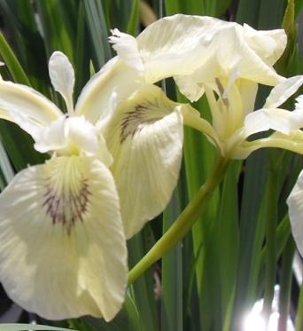 Iris Pseudacorus Ivory-barerooted
