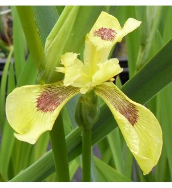 Iris Pseudacorus Krill-barerooted