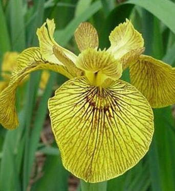Iris Pseudacorus Phil Edinger-barerooted