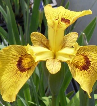 Iris Pseudacorus Roy-Davidson-barerooted