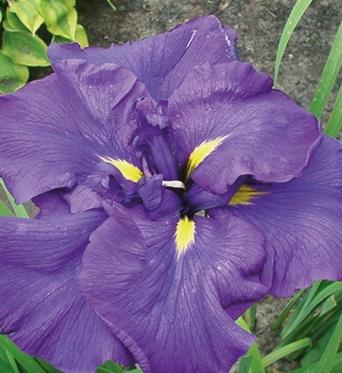 Iris Ensata Purple Parasol-1 litre pots