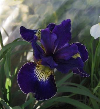 Iris Sibirica Golden Edge-1 litre pots