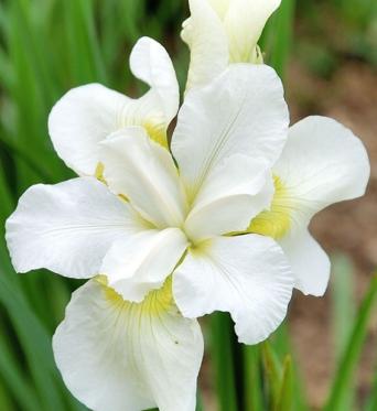 Iris Sibirica Gulls Wing-1 litre pots