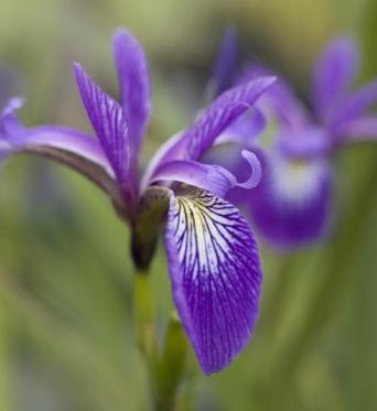 Iris Versicolor Algonquin-barerooted