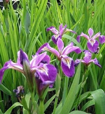 Iris Versicolor Kermesina-barerooted
