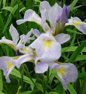 Iris Virginica-barerooted