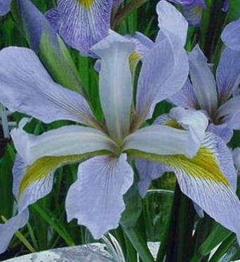 Iris Virginica Lavender Lustre-barerooted