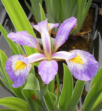 Iris Virginica Orchid Purple-barerooted