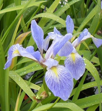 Iris Virginica Shrevii-barerooted