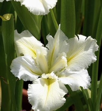 Iris Louisiana White Umbrella-barerooted