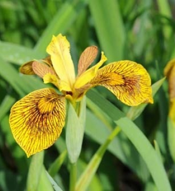 Iris Pseudacorus Berlin Tiger-barerooted