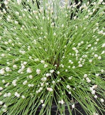 Isolopsis Cernua-7 cm pots