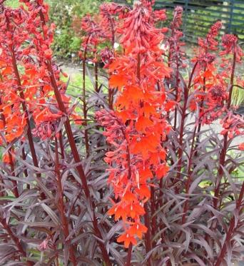 Lobelia Cardinalis-large plug plants
