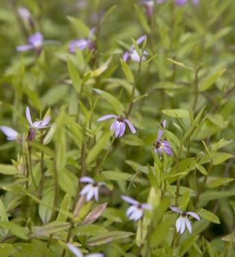 Lobelia Chinensis-7 cm pot
