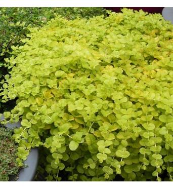 Lysimachia Nummularia Aurea-1 litre pots