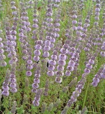 Mentha Pulegium-7 cm pot