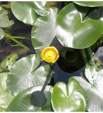 Nuphar Luteum-Extra Large Plants