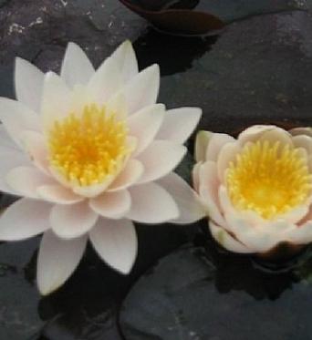 Nymphaea Lactea-barerooted